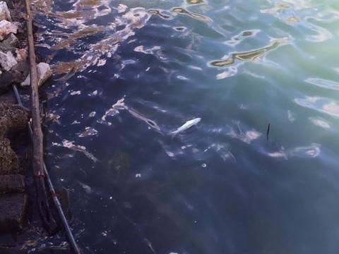 Risultati immagini per lago d'Averno, moria pesci