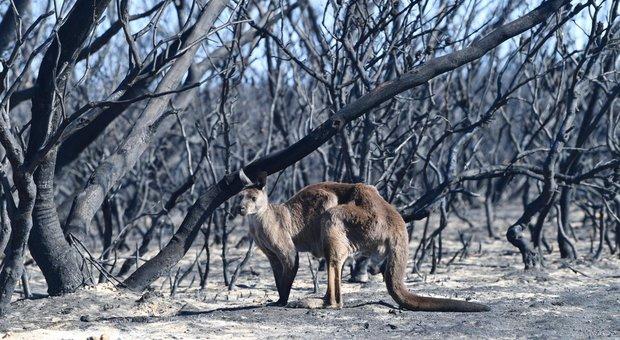 Australia, 10.000 cammelli saranno abbattuti da cecchini in elicottero: «Bevono troppa acqua»