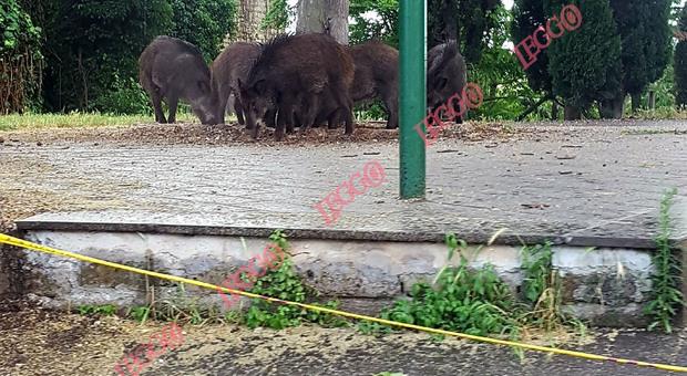 Roma, cinghiali a spasso: famiglia assalita mentre va a fare la spesa